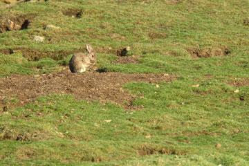 Rabbit wild in a field