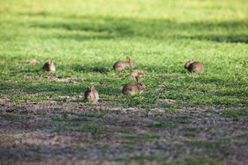 Rabbits grazing on newly planted crops